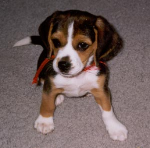 Gypsy as a puppy